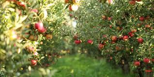 Avondcursus Fruitbomen Zomersnoei (mei 2022)